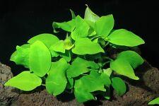 Anubias Gold # Live aquarium plant fish tank WS