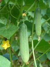 20++ Organic Thai Cucumber Seeds NON-GMO Crispy!