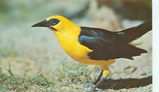 ST.PETERSBURG,FLORIDA-ORIOLE BLACKBIRD-SUNKEN GARDENS-(BIRDS-89)