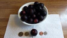10 LARGE SWEET North Carolina Vitis Rotundifolia PURPLE MUSCADINE GRAPE Seeds