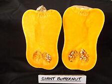 Pumpkin GIANT BUTTERNUT-EXTRA LARGE FRUIT-SHOW WINNER, AGAIN -12 FRESH SEEDS.