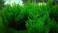 Flame Moss with small cup Live Aquarium Plants Buy 3 Get 1 Free