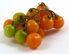 Tomato Sungold Select II. - 10+ seeds - GOLDEN and SWEET!