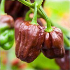 100pc Habanero Chocolate Peper Seeds Bonsai Plant House Herb Garden Flower Decor