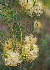 Melaleuca fulgens ssp corrugata in 50mm forestry tube native plant