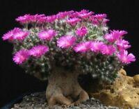 Trichodiadema Densum rare bonsai caudex succulent plant