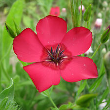 Flax - Linum Red - 300 Seeds