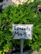 Epazote~Mexican Tea Live Plant  Medicinal Herbs 5 to 7 inches tall live plant