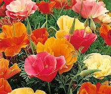 CALIFORNIA POPPY MISSION BELL Eschscholzia Californica - 10,000 Bulk Seeds