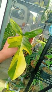 "Philodendron Florida Beauty Variegated ""1leaf top cut"" very fresh Rare!"