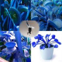500x Venusfliegenfalle Samen Dionaea Blau- Fleischfressende Pflanze In Versch