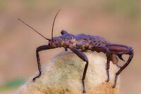 EURYCANTHA CALCARATA ♂♀ - 12 Huevos / Eggs - Stick insect Insecto hoja, Fásmidos