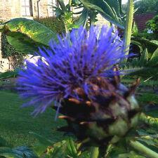 Artischocke (Cynara cardunculus) Riesenblüte, blau, essbar, Distel, Gemüse