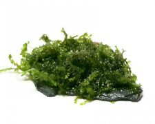 "Garnelio - Nano Scape Rock - Vesicularia ferriei ""Weeping"""