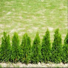 Platycladus Thuja Orientalis Bonsai For Home Plants Garden New Tree 50 Pcs Seeds