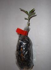 Oliva de otoño, Elaeagnus Umbellata, acebuche, japonés silverberry Plug planta