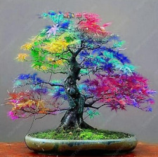 50 Pcs Seeds Maple Rare Rainbow Japanese Bonsai Tree Plants Garden Free Shipping