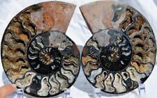 "1223nxx RARE 1 in 100 BLACK Ammonite PAIR Deep Crystals XXLRG 7.3"" 110myo 185mm"