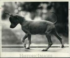 1967 Press Photo Peruvian Hairless sometime called Pig Dog.