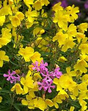 New! 30+ Fragrant Yellow Phlox Flower Seeds / Shade Perennial