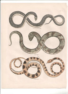 1866 Hand Coloured Engraving Vipers, Buffon Natural History