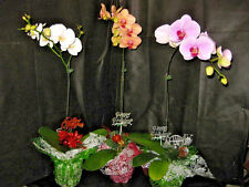 3 BUDDED/BLOOMING PHALAENOPSIS ORCHIDs with Christmas Decor- XMAS GIFT OF ALOHA!