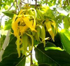 Cananga Odorata - 10 Seeds - Ylang Ylang Massacar Oil Tree