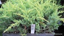 Juniper, Gold Star plant, great for Bonsai, evergreen