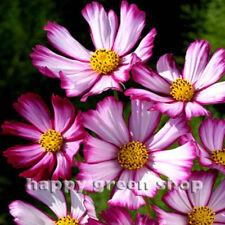 COSMOS BIPINNATUS - DWARF SENSATION PICOTEE 300 SEEDS - ANNUAL PINK WHITE FLOWER