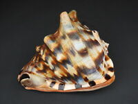 Sea shells Cassis tuberosa 144mm ID#4589