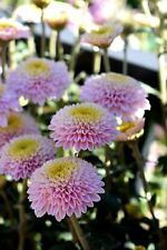 "Chrysanthemum ""Kelvin's Rose"" x 1 plant. Pompone"