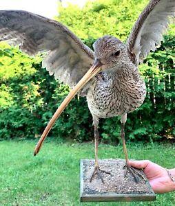 Taxidermy Mounts Bird Real Stuffed Eurasian Curlew Standing Art On Wood Cabin