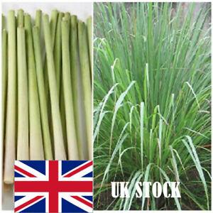 Lemon Grass Cymbopogon Flexuosus Plant Fragrance Garden 20 Seeds Herb Vegetable