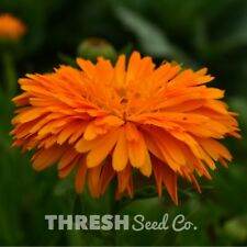 Garden Flower - Pacific Beauty Calendula - 250 seeds + Free Gift