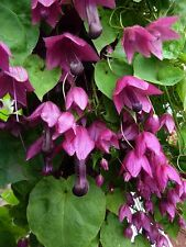Rhodochiton Atrosanguineum - Purple Bell Vine- 15 Seeds - Organically Grown