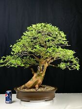 Chinese Elm Specimen Bonsai