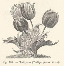 B2660 Tulipano - Tulipa gesneriana - Xilografia d'epoca - 1931 old engraving