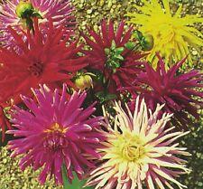 Flower - Dahlia - Cactus Flowered Mix - 28 Seeds