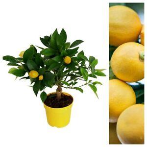 Citrus Lemon Tree with Edible Lemons On - Mini Lemon Tree 25 cm