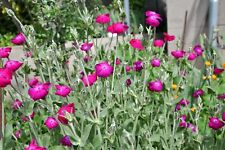Lychnis Coronaria Rose Campion -9cm Pot- Hardy Biennial Border Flowering Plant