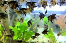 Koi/Marble Angelfish Assorted Bundle Pack *Quarter Size* Live Fish!!! (USA)