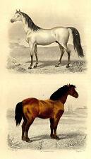 Décoration Cheval Arabe & Percheron -Traviès Gravure originale 19e