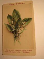 Convallaria majalis-maiblume-fertile-pianta/CDV