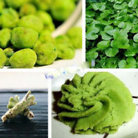 100 Wasabi Seeds Japanese mustard Horseradish Vegetable Seeds garden plant SO