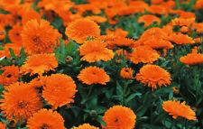 Pot Marigold Seeds - CANDYMAN DWARF - Calendula - Medicinal Benefits - 25 Seeds