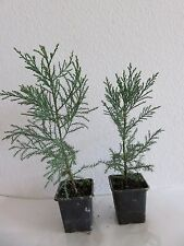 Sequoiadendron giganteum Riesen - Berg Mammutbaum Pflanze  ca.35 cm blauer Typ