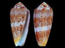 Conus circumcisus f. granulated - Shells from all over the World NEW!!!