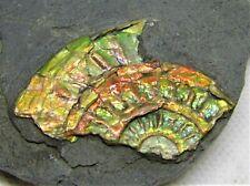 Rainbow iridescent Caloceras ammonite fossil display Somerset UK Ammolite rock