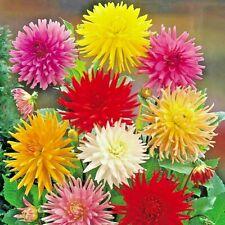 301+GIANT CACTUS ZINNIA MIX Flower Seeds 5