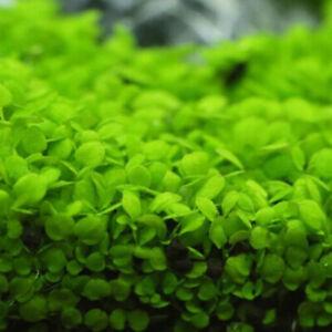 Aquarium Plant Seeds Fish Tank Aquatic Water Grass Foreground Easy Plants 5g